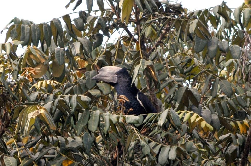 Calao à joues grises forêt de Kakamega