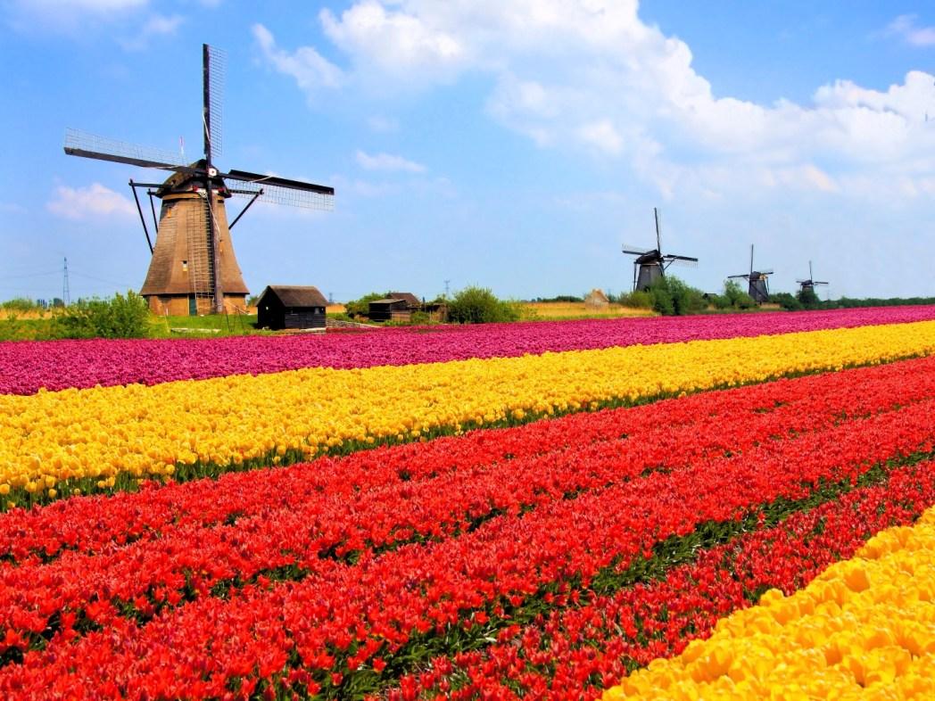 Moulin et tulipes de Hollande