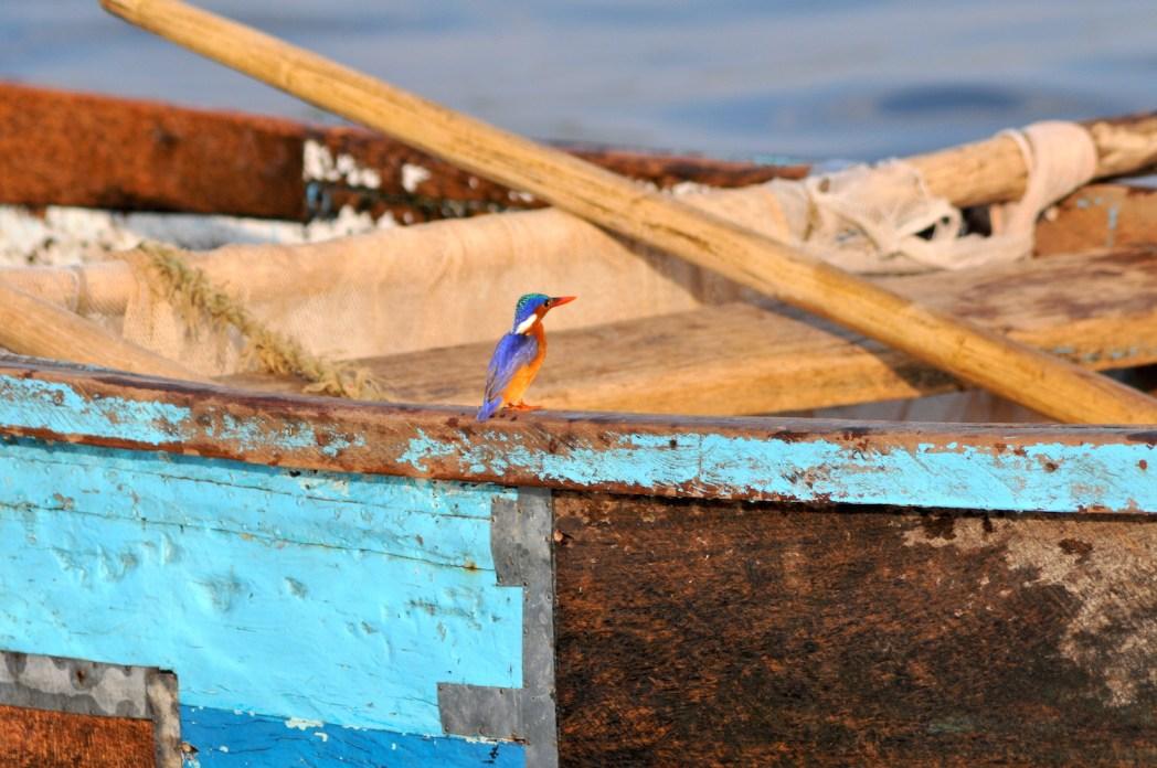 martin pêcheur lac Victoria