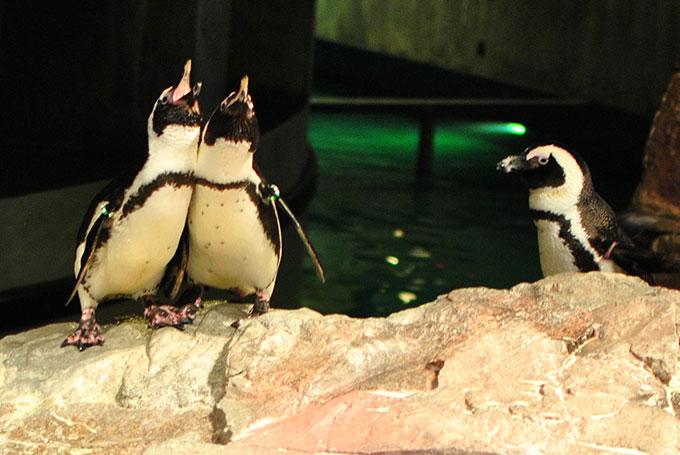 Pingouins, New England Aquarium, Boston